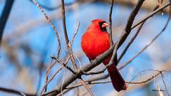 _DSC9825 pan (bibirazzi2) Tags: inexplore northerncardinal red rouge cardinal