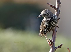 Starling (Jambo Jambo) Tags: storno starling sturnusvulgaris uccello bird cacciafotografica birdwatching grosseto maremma maremmatoscana toscana tuscany italia italy sonyrx10m4 jambojambo