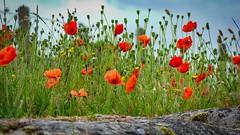 Armistice Day (Geert E) Tags: flanders fields remembranceday poppies red war armistice wapenstilstand 11november