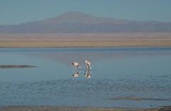 2017-11-09_0734_DSC_0697a (becklectic) Tags: 2017 atacamadesert atacamasaltflat birds chile flamingoes lagunachaxa lake piedrasrojastour regióndeantofagasta reservanacionallosflamencos salardeatacama sanpedrodeatacama flamingo flamingos