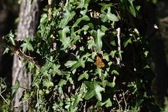 Lasiommata megera (esta_ahi) Tags: camídecanràfols mariposa papallona butterfly lasiommata megera lasiommatamegera nymphalidae lepidoptera insectos fauna avinyonet penedès barcelona spain españa испания