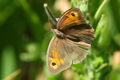 Meadow Brown butterfly at Titchfield Canal, Hampshire, UK (Art-G) Tags: butterfly meadowbrown insect titchfieldcanal titchfield hampshire uk canon eos7dmkii 100400lisusm bokeh