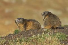 Marmotte autunnali (Ricky_71) Tags: marmot autumn mountain colors wild nikon