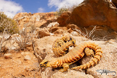 Ouroborus cataphractus - Armadillo Lizard. (Tyrone Ping) Tags: ouroborus cataphractus armadillo lizard reptiles rare species amazing cute wide angle wwwtyronepingcoza tyroneping life adventure road trip canon 5dmiii 1855mm northern cape richtersveld mountain mountains creature critter critters love ngc special animals south africa southern afrca photo photography herps herping field african wild southafricanreptiles