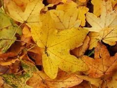 November... (M.L Photographie) Tags: nature feuille leaf automne novembre november autumn france normandie normandy eure coolpix p1000 nikon feuilles leaves