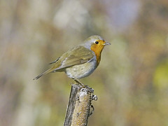 Erithacus rubecula / Pettirosso / European robin (Alvaro Colombo) Tags: coth alittlebeauty nationalgeographicwildlife ngc coth5 avianexcellence