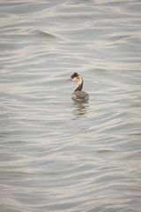 Grebe, Great Crested (KilcherPNW) Tags: fujimaetidalflats inaepark nagoya japan greatcrestedgrebe podicepscristatus