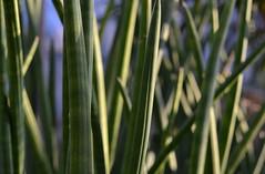 Tall Stickies (timmerschester) Tags: detroit michigan conservatory plants belleisle