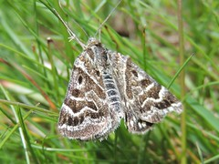 Mothers Shipton (Kevin Pendragon) Tags: moth black white brown waves pattern grass grassland summer walk naturephotography insect macro swirls green nature style sun