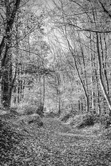 Autumn in Black and White (enneafive) Tags: graphic autumn monochrome hard leaves trees fujifilm xt2 affinityphoto beukenberg tongeren limburg belgium