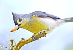 Got a nut! (dina j) Tags: floridawildlife floridabird florida bird wildlife songbird titmouse tuftedtitmouse peanut outdoors nature littlebird pinellascounty chesnutpark