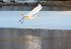 Great Egret flying over frozen river in sunlight in the winter (Digikuvaaja) Tags: white bird flying egret lake winter wildlife greategret nature great snow birdwatching river wild animal plumage migratory ice frost beauty water feather longneck outdoor countryside frozen greatwhiteegret scene wing feathers icy graceful serene waterfowl sea snowy natural ornithology wilderness elegant wintertime pond climate silence waterbird tranquil finland