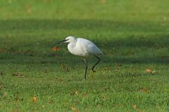 IMG_5836 (superbradphotos) Tags: superbrad superbradphotos ianbradley derbyshire little egret