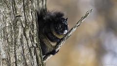 Écureuil Noir Roux (richard.hebert68) Tags: animal forêts