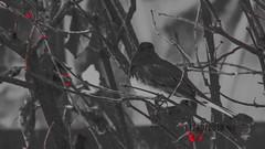 Red filter bird (696ronz) Tags: red filter black dark bird cold soft fuzz songbird rest