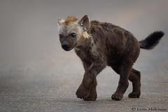 I am what I am! (leendert3) Tags: leonmolenaar southafrica krugernationalpark wildlife nature hyena mammals ngc npc