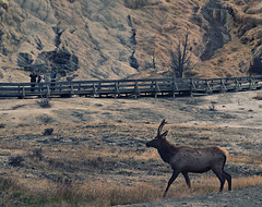 Elk vs Tourists - Fall scenes from Yellowstone National Park, WY, USA (The Shared Experience) Tags: yellowstonenationalpark 2016 a6300 sonya6300 sonydslr nps nationalparks nps100 hotsprings geyser wild nature landscapes wildlife usa wy