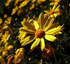 Margherite per Margherita (fotomie2009) Tags: flora flower fiore daisy margherita yellow bush cespuglio