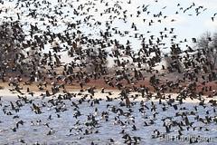 November 23, 2018 - Geese take to the skies at Barr Lake. (Bill Hutchinson)