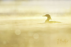 Common Merganser (F) (J.Hunter Photography) Tags: exquisite