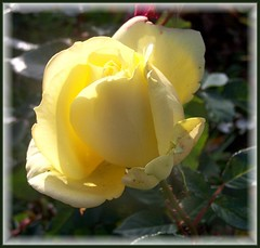 Yellow Rose For Friendship (ERIK THE CAT Struggling to keep up) Tags: manor estate stafford flowers ngc doublefantasy