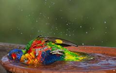Summer is here! (Araylia Photo Art) Tags: rainbowlorikeet birdbath splash water colour summer