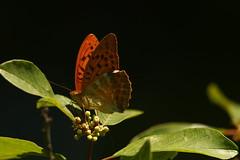 Silver-washed Fritillary (Derbyshire Harrier) Tags: argynnispaphia 2018 summer june romania narcissusforest transylvania naturetrek butterfly backlighting backlit woodland silverwashedfritillary