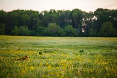 MårtenSvensson_114_3U4A9846 (Bad-Duck) Tags: jordbruk mat bete betesmark ko kor kväll köttdjur köttras sommar
