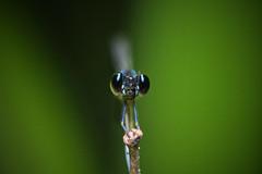 Common Blue Jewel Portrait (Gomen S) Tags: animal wildlife nature hongkong hk china asia tropical nikon 105mmmicro d500 macro 2018 insect bug odonata damselfly