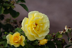 Yellow Roses in the park (Stephen G Nelson) Tags: plant rose garden park tucson arizona