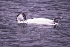 Personal Grooming (ausmc_1) Tags: frenchcreek estuary vancouverisland britishcolumbia canada wetland december 2018 pacificocean georgiastraight