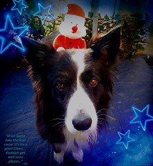 Santa's Little Helper (ASHA THE BORDER COLLiE) Tags: funny dog christmas picture santa harness ashathestarofcountydown connie kells county down photography