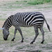 A plains Zebra