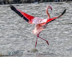 Gaining speed for take-off-5078 (George Vittman) Tags: bird camargue flamingo flight running takeoff nikonpassion wildlifephotography jav61photography jav61 fantasticnature
