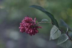 Cestrum Elegans I (Zara Calista) Tags: sanfranciscobotanicalgarden sanfran botanical garden cestrum elegans nikon macro cf california