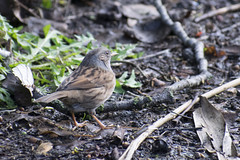 "rm-dunnock • <a style=""font-size:0.8em;"" href=""http://www.flickr.com/photos/157241634@N04/46512641831/"" target=""_blank"">View on Flickr</a>"