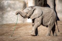 Playful Elephant Calf (helenehoffman) Tags: elephant conservationstatusvulnerable africansavannaelephant sandiegozoosafaripark loxodontaafricana calf africanbushelephant mammal animal coth alittlebeauty coth5