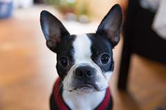 Stella (fjvallejo) Tags: dog boston terrier bostonterrier oakland dof depth field canon markiv mark puppy dogs pet eyes eye nose fur furry whiskers animal portrait eos