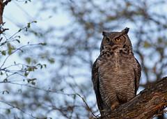 Great Horned Owl...#1 (Guy Lichter Photography - 4.4M views Thank you) Tags: canon 5d3 canada manitoba winnipeg wildlife animal animals bird birds owl owls greathornedowl male