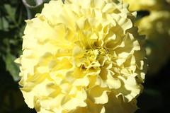 Longwood Gardens Flower Macro (Itinerant Wanderer) Tags: pennsylvania chestercounty longwoodgardens
