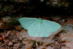 IMG_9072 Prasinocyma spec. (Raiwen) Tags: prasinocyma prasinocymagemmatimargo geometridae geometrinae moth moyenneguinée guinea westafrica africa