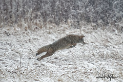Coyote Leaps (dcstep) Tags: dsc7126dxo cherrycreekstatepark colorado usa aurora leaping coyote canine wildcanine snow snowy allrightsreserved copyright2019davidcstephens dxophotolab202 hunting pixelpeeper instagram