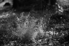 Winterlicht (richard.kralicek.wien) Tags: grass light blackandwhite winter
