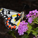 Delias aganippe - Spotted Jezebel butterfly