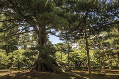 Neagarinomatsu Pine, Kenrokuen Garden - Kanazawa (Japan) (Andrea Moscato) Tags: andreamoscato giappone japan asia japanese 日本 nihon nippon asian light luce green shadow ombre prefecture attraction ombra site national nature natura natural naturale landscape paesaggio day white view vivid vista scenic blue parco park trees history historic ancient wood art rock giardino