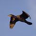 Cormorant (Phalacrocorax carbo) - Riverside Valley Park, Exeter, Devon - Sept 2018
