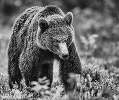 Power & Authority BW (GunnarImages (Gunnar Haug)) Tags: mother brownbear power wildlife cute blueberry nordic green brown mammal finland forest
