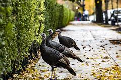 Brookline Turkeys (1 of 5) (kylesgibson) Tags: brookline boston massachusetts turkey turkeys bird