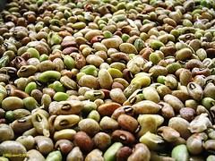 Feijão - Remastered (Dom JJRastero) Tags: beans green plant vigna