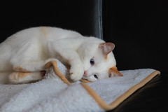 Filou on his blanket (FocusPocus Photography) Tags: filou katze kater cat chat gato decke blanket verspielt playful tier animal haustier pet
